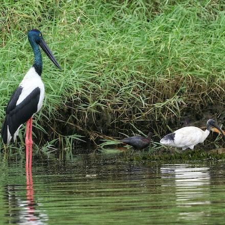Black- necked Stork, Australian White Ibis, Glossy Ibis - Black- necked Stork, Australian White Ibis, Glossy Ibis