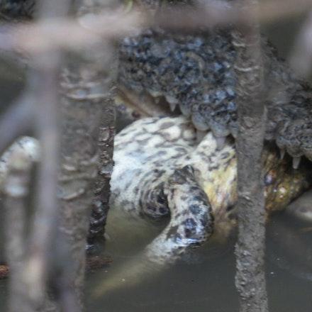 Crocodile eating cane toad - Crocodile eating feral cane toad , toad, cane toad