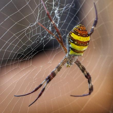ST Andrew  cross,  Argiope keyserlingi - ST Andrew  cross,  Argiope keyserlingi, spiders
