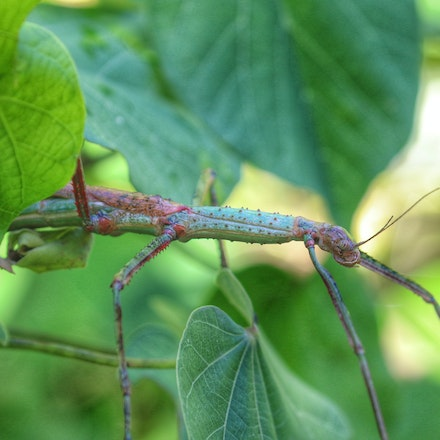 Male and female Strong stick insect Anchiale briareus - Male and female Strong stick insect Anchiale briareus