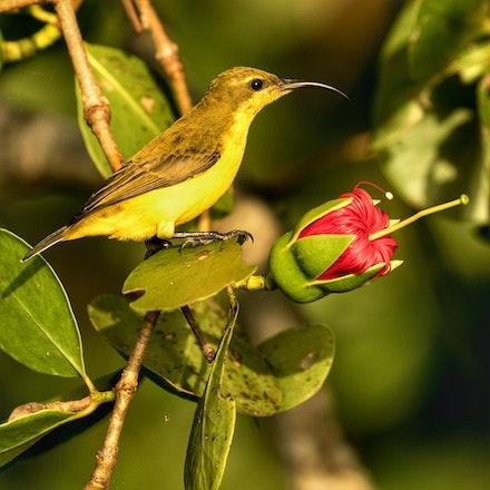 Apple Mangrove,   Sonneratia caseolaris and female olive backed sunbird - Apple Mangrove,   Sonneratia caseolaris