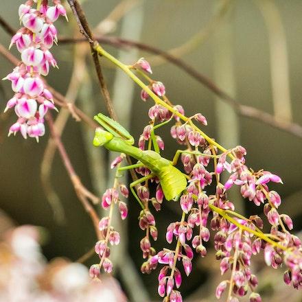 Northern Bloodwood vine, Austrosteenisia stipularis   , Praying mantis - Northern Bloodwood vine, Austrosteenisia stipularis