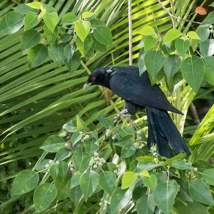 Male - Eastern Koel, rain bird, Pacific Koel, Eudnamys orientalis