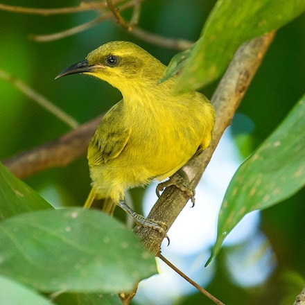 Yellow Honeyeater, Lichenostomus flavus - (press for more images)