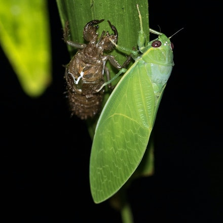 False Bladder Cicada - Cystopsaltria immiculata - False Bladder Cicada - Cystopsaltria immiculata