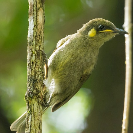 Yellow spotted honeyeater, Meliphaga notata - (press for more images)
