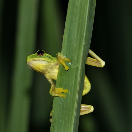graceful tree frog - Graceful tree frog
