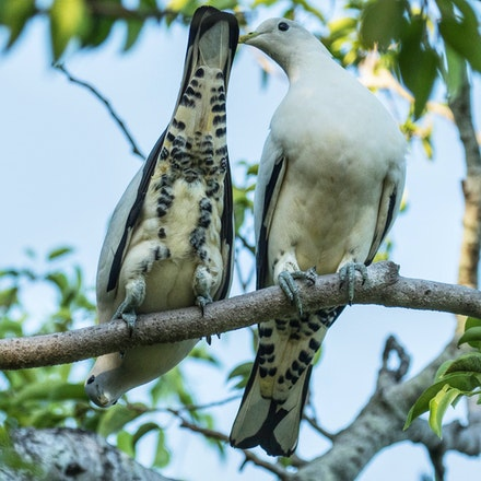 Torresian imperial pigeon, Ducula spilorrhoa, wabul (kuku yalanji) - Torresian imperial pigeon, Ducula spilorrhoa, wabul (kuku yalanji)