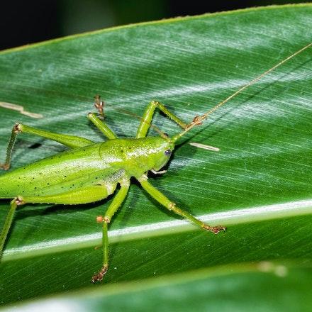 Destructive Katydid Austroalomona sp.
