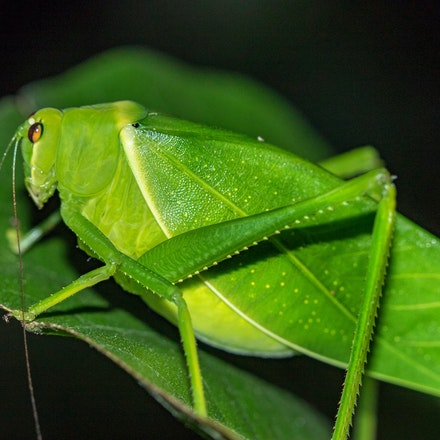 Spiny-legged Katydid (Paracaedicia serrata). - Spiny-legged Katydid (Paracaedicia serrata). Insects, katydid, wet tropics invertebrates
