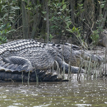 scarface and Gump - Crocodile, reptiles, saltire , crocodylus porsus, crocodilians, wet tropics , Daintree