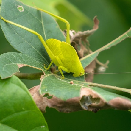 A subadult Serrated Bush Katydid (Paracaedicia serrata) - A subadult Serrated Bush Katydid (Paracaedicia serrata) , insects , wet tropics, katydids