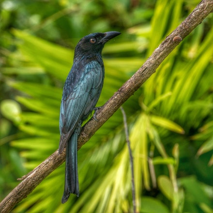 Spangled Drongo, Dicrurus bracteatus - (press for more images) Spangled Drongo, Dicrurus bracteatus