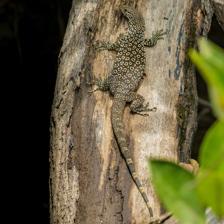 Spotted Tree Monitor, Varanus scalaris - (press for more images)