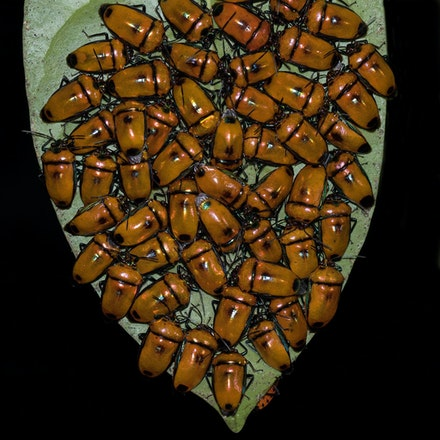 Jewel bug, Calliphara regalis - Jewel bug, Calliphara regalis , insects, bugs , wet tropics , insects