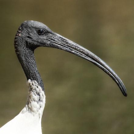 Australian White Ibis, Threskiornis moluccus - Australian White Ibis, Threskiornis moluccus