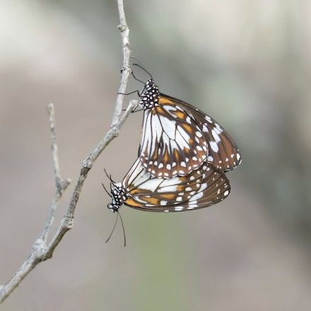 Swamp Tiger Butterfly, Danaus affinis - Swamp Tiger Butterfly, Danaus affinis , butterfly,  wet tropics , Daintree river wildlife