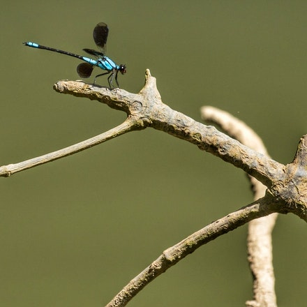 Tropical Rockmaster , Diphlebia euphoeoides, broad winged damselfly - Tropical Rockmaster , Diphlebia euphoeoides, dragonflies, wet tropics,  damselflies,...