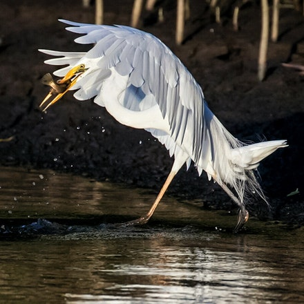 Great Egret, Ardea alba - (press for more images)