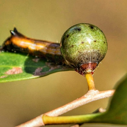 Caterpilar from  Nolidae family of moths - Caterpillar, moths, insects, wet tropics, Daintree