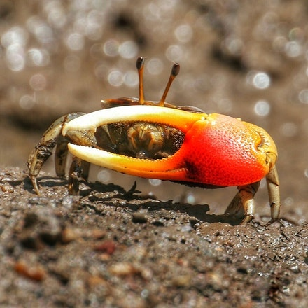 Fiddler Crab  Uca coarctata - (press for more images) Fiddler Crab  Uca coarctata