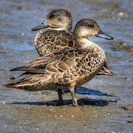 Grey Teal Ducks, Anas gracilis - Grey Teal Ducks, Anas gracilis