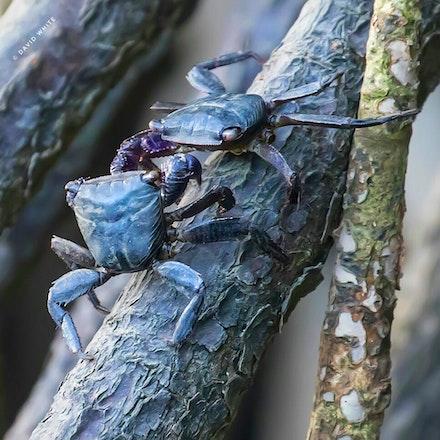 Broad-fronted mangrove crab  Metopograpsus latifrons