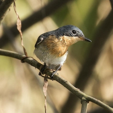 Female ,  Leaden Flycatcher, Myiagra rubecula - Leaden Flycatcher, Myiagra rubecula