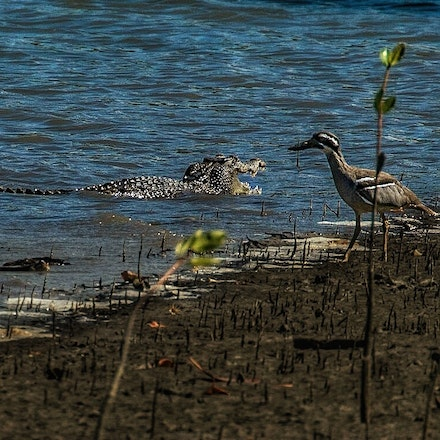 Mary and beach stone curlew - Crocodile,  wet tropics, wildlife