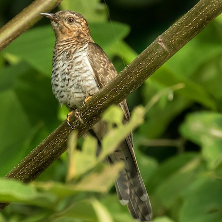 Brush Cuckoo , Cacomantis variolosus - (press for more images) 