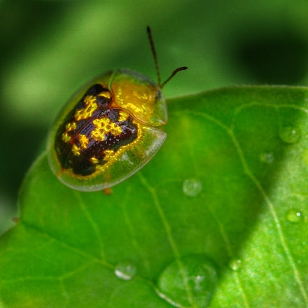 Golden  tortoise  beetle , Cassida compuncta - Golden  tortoise  beetle , Cassida compuncta, insects of the wet tropics