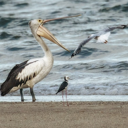 Pelican, Black- winged tilt , Silver gull. - Pelican, Black- winged tilt , Silver gull.