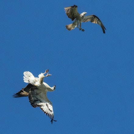 White bellied sea eagle,  Osprey - White bellied sea eagle,  Osprey