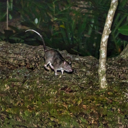 White tailed rat - White tailed rat