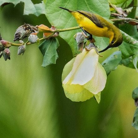 Native  Hibiscu, Cottonwood, Hibiscus tiliaceus, female Olive backed sunbird - Native  Hibiscu, Cottonwood, Hibiscus tiliaceus