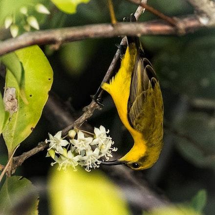 River Mangrove,  Aegiceras corniculatum, female Olive backed Sunbird - River Mangrove,  Aegiceras corniculatum