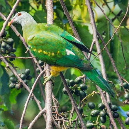 Ylang ylang , Cananga odorata, Wompoo Fruit dove - Ylang ylang , Cananga odorata