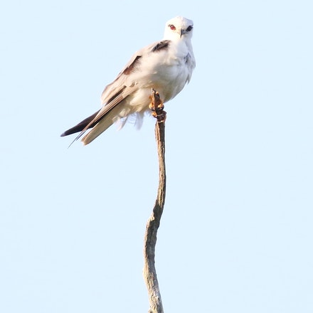 Black Shouldered Kite, Elanus axillaris - (press for more images) black shouldered kite, Elanus axillaris