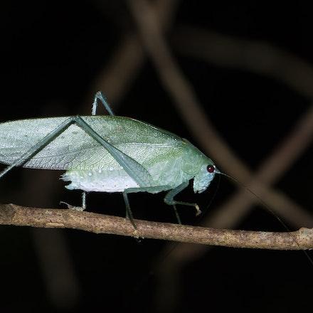 Webber's Katydid, Caedicia webberi - Webber's Katydid, Caedicia webberi, wet tropics insects, katydid, insects, Caedicia