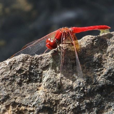 Scarlet Percher, Diplacodes haematodes - Scarlet Percher, Diplacodes haematodes