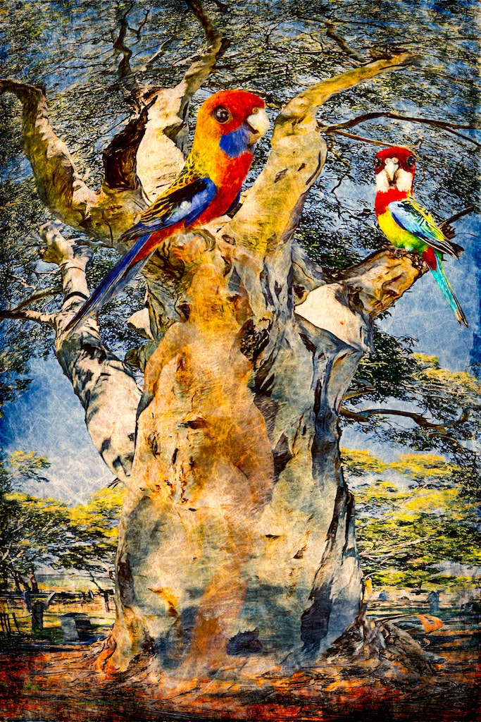 Rosellas at St. Stephens
